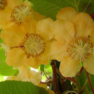 Fleurs De Kiwis