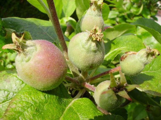 Pommes Starking
