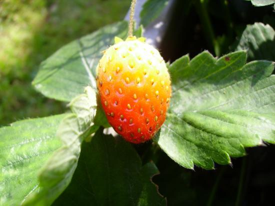 Une fraise