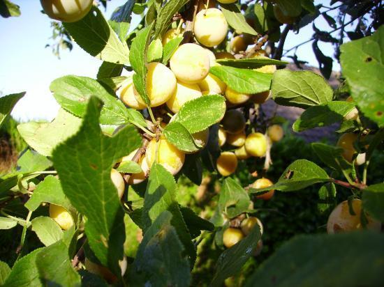 Branche De Mirabelles