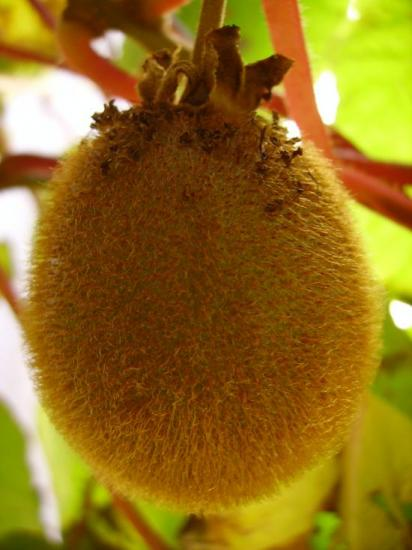 Un Kiwi