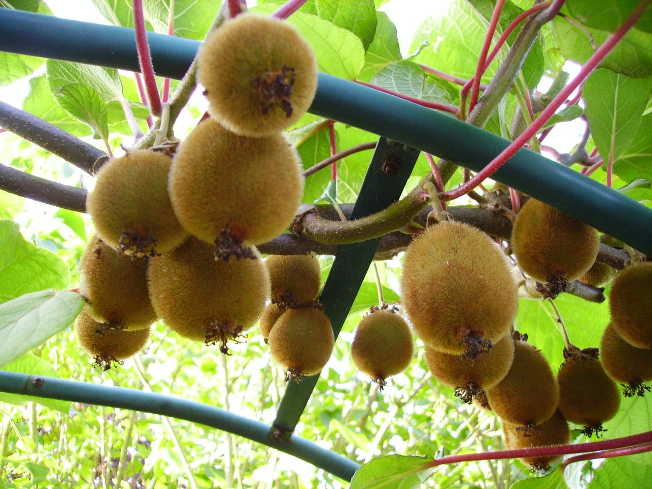 arbre du kiwi fruit cheap vous pouvez galement cliquer. Black Bedroom Furniture Sets. Home Design Ideas